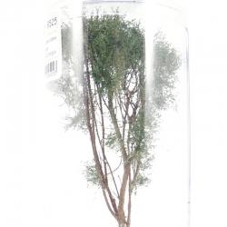 Vícekmenný strom -zelená dubová- 12-13cm