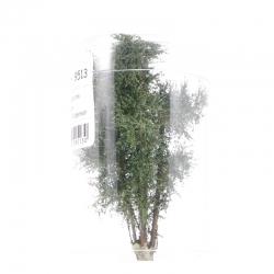 Vícekmenný strom -zelený mix- 8-10cm